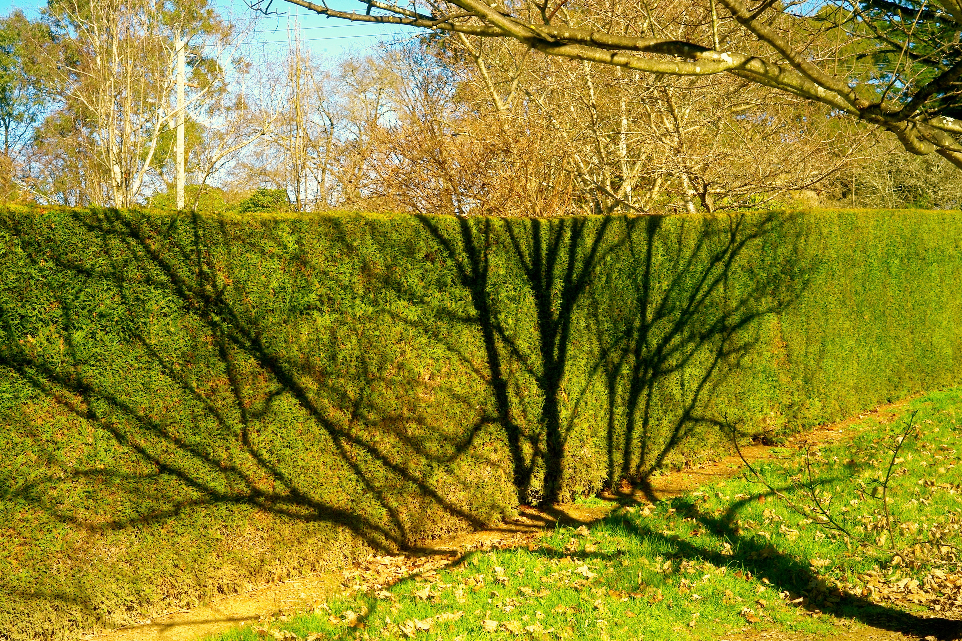 Hedge with a shadow