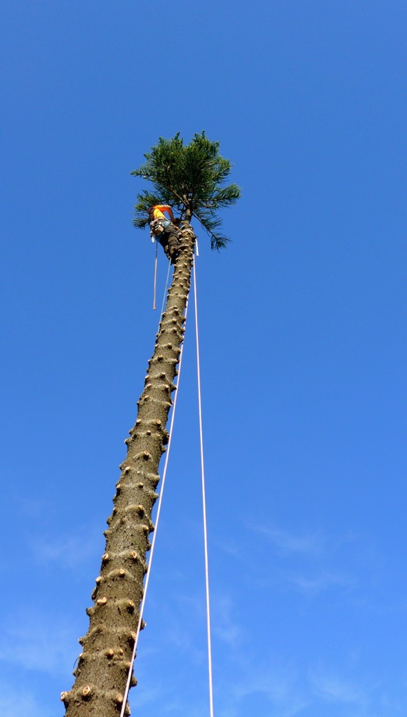 Final branches being removed from a tree